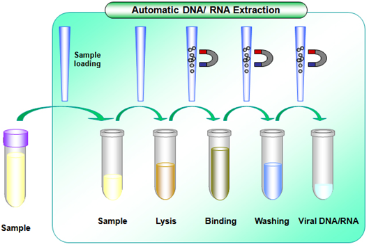 the extraction of purified dna from Hudson robotics has introduced an automated dna extraction system as part of our catalog of powerful machine systems made to support genetic research.